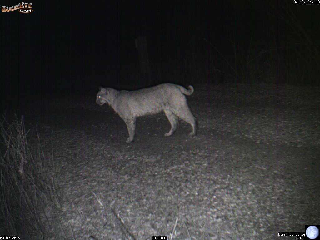 bobcat  u2013 lynx rufus  u2013 prairie haven