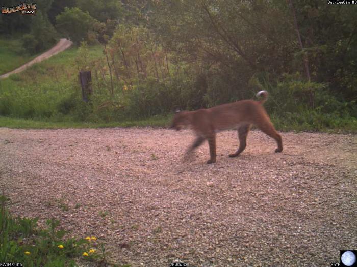 7-4-15 bobcat