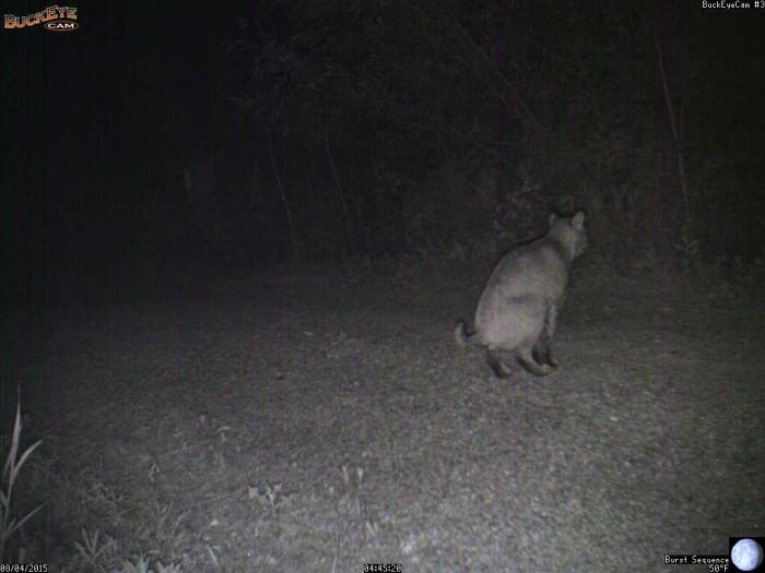 8-4-15 3 bobcat