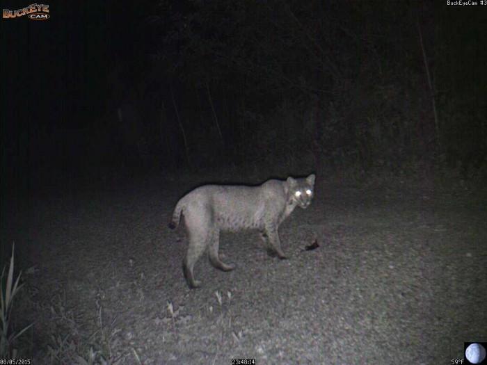 8-5-15 1 bobcat