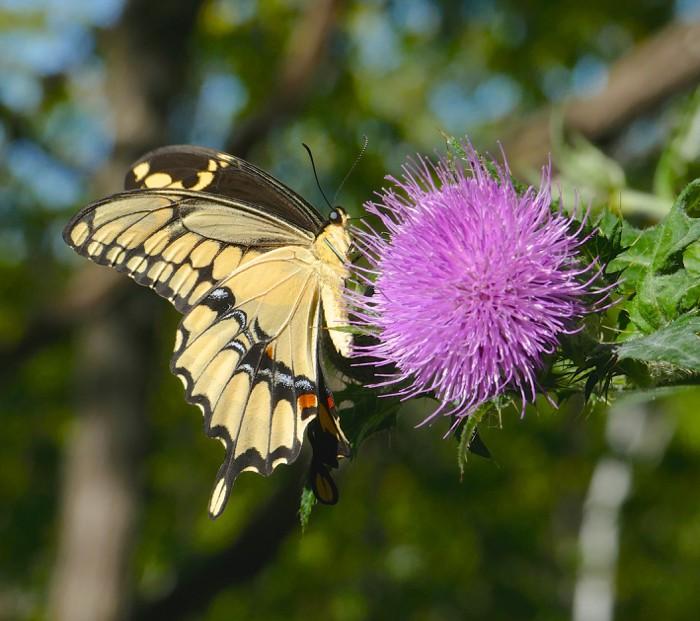 Giant Swallowtail 8-11-15 2