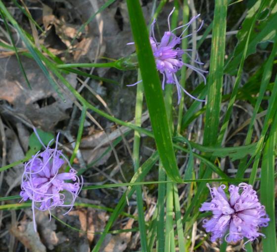 Liatris cylindracea 8-15-15 1
