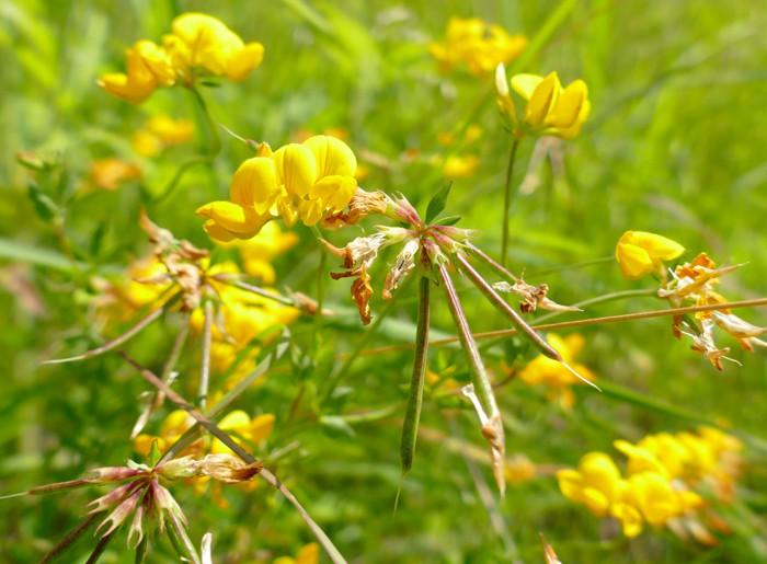 Lotus corniculatus 7-10-15 1