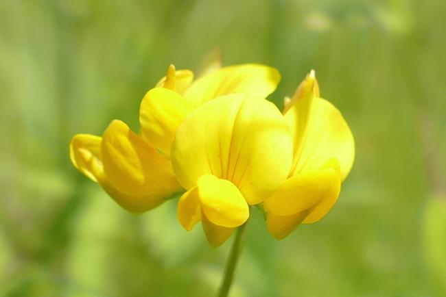 Lotus corniculatus 7-10-15 2