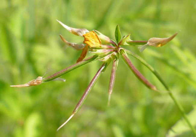 Lotus corniculatus 7-10-15 3