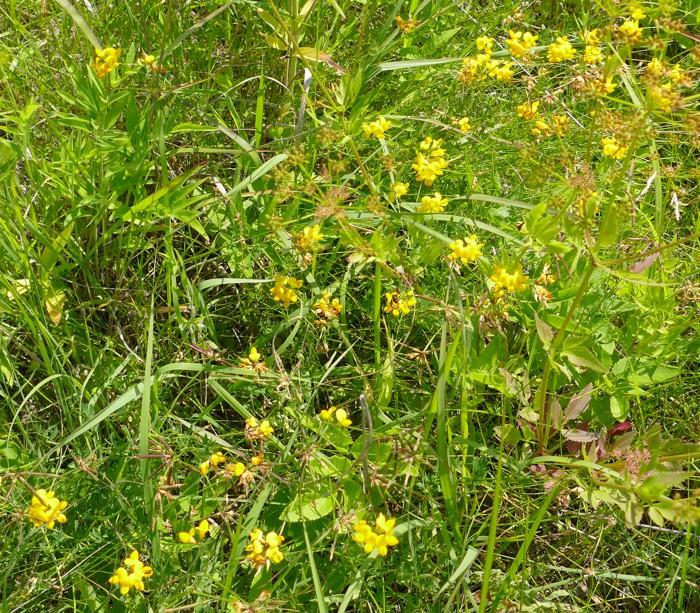 Lotus corniculatus 7-10-15 4