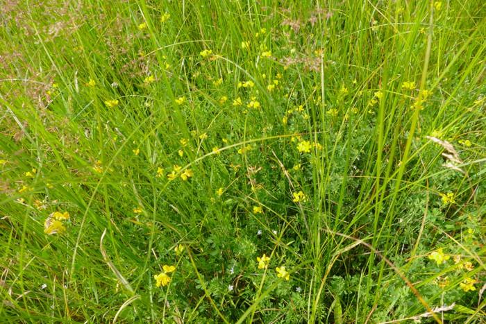 Lotus corniculatus 7-10-15 8
