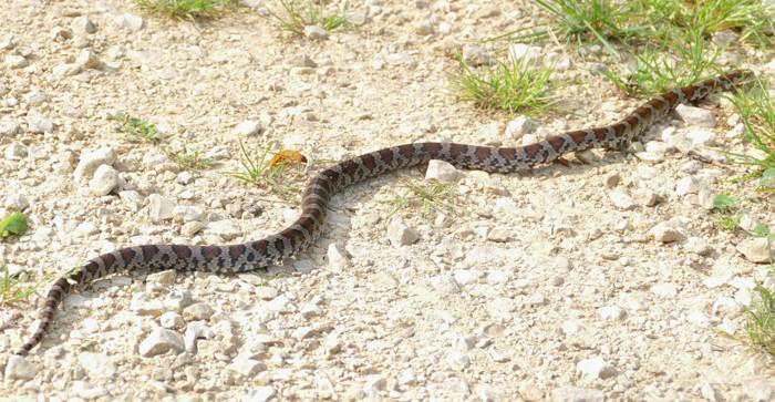 Milk Snake 8-13-15 1