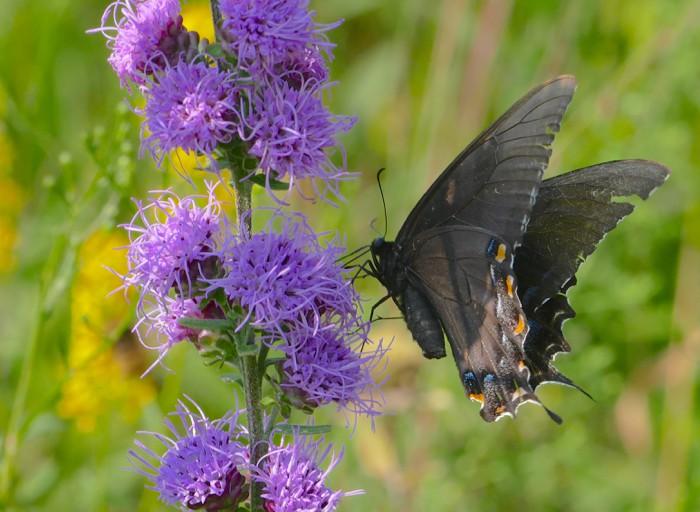 Black Tiger Swallowtail 8-22-15 1