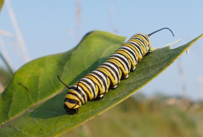 monarch caterpillar 8-30-15 1