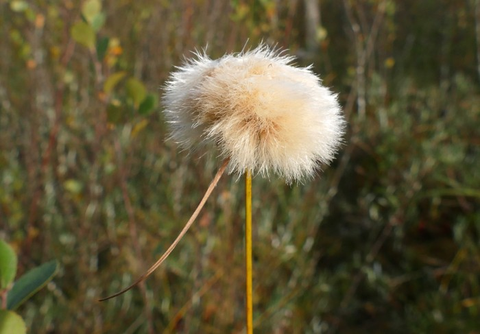 Eriophorum - Cotton Grass