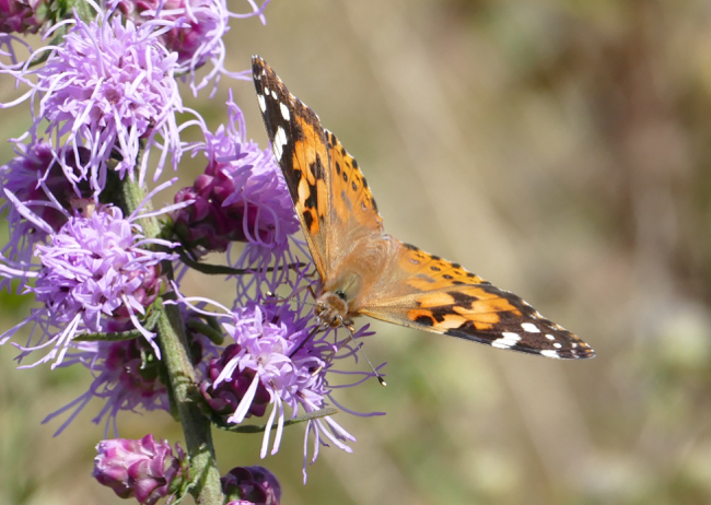 Painted Lady 9-20-15 1