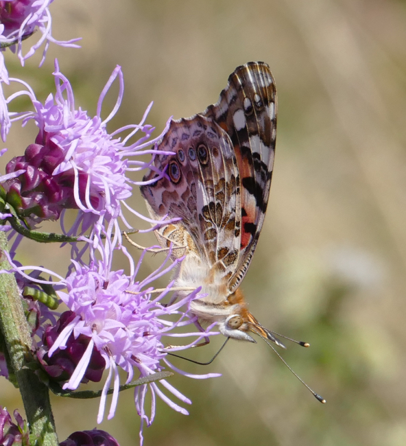 Painted Lady 9-20-15 2