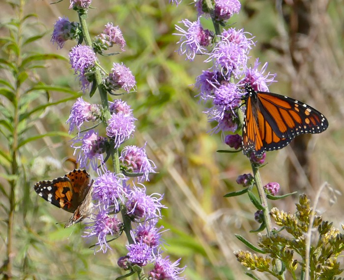 Painted Lady and Monarch 9-20-15