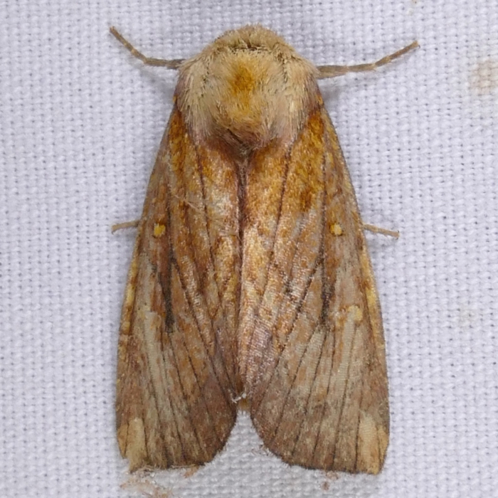 Papaipema inquaesita 9-23-15 1 shelley