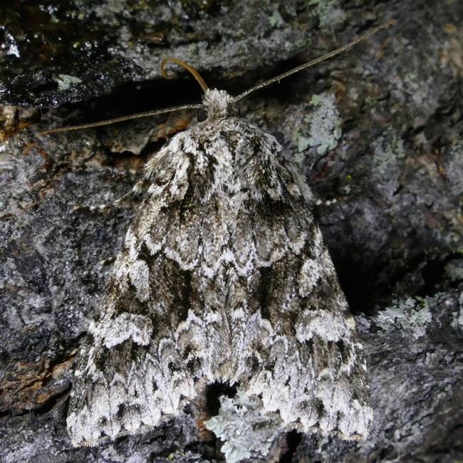 Pachypolia atricornis 10-5-15