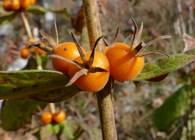Triosteum perfoliatum