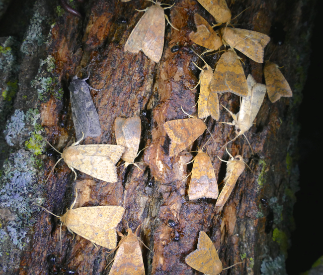 moths on bait 9-24-15
