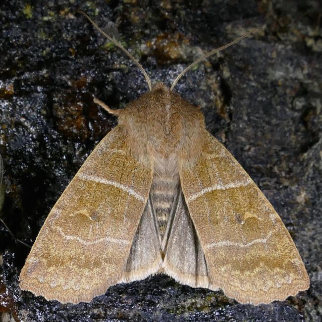 Eupsilia morrisoni 11-2-15 1