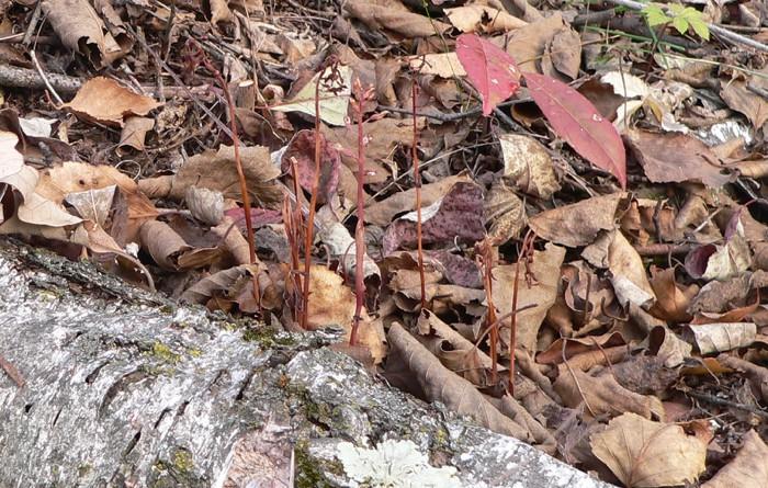 Corallorhiza odontorhiza 11-3-07 2