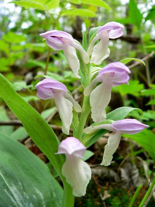 Galearis spectabilis 5-24-05 2