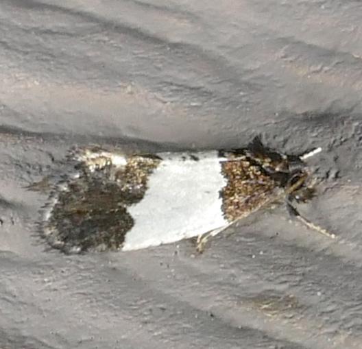 Kearfottia albifasciella 7-12-15 1