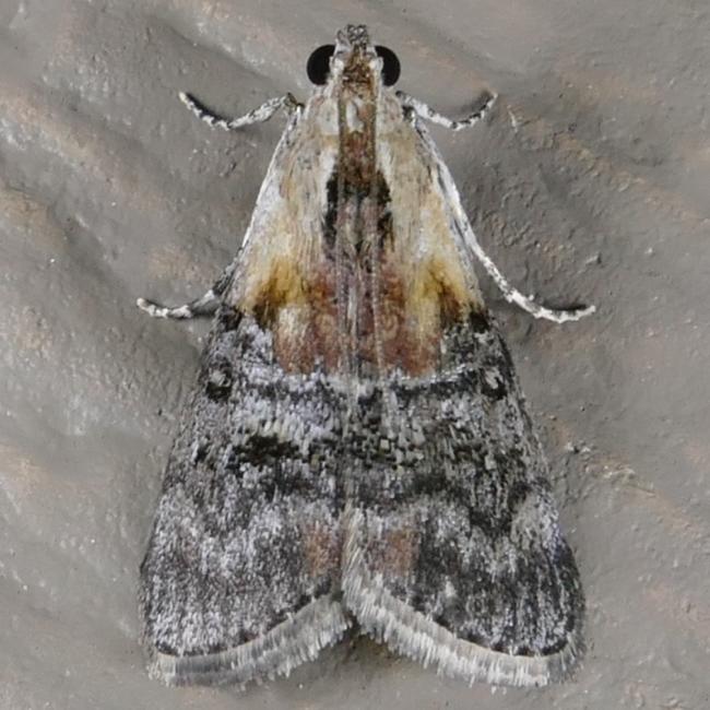 Pococera expandens T 7-12-15 1