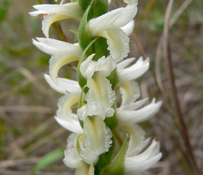 Spiranthes magnicamporum 9-9-06 1