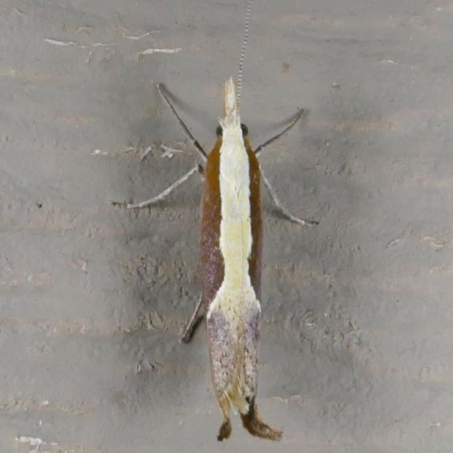 Ypsolopha dentella 7-26-15 2