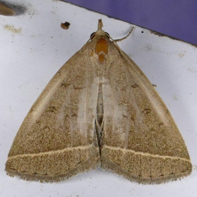 Zanclognatha marcidilinea 7-24-15 1