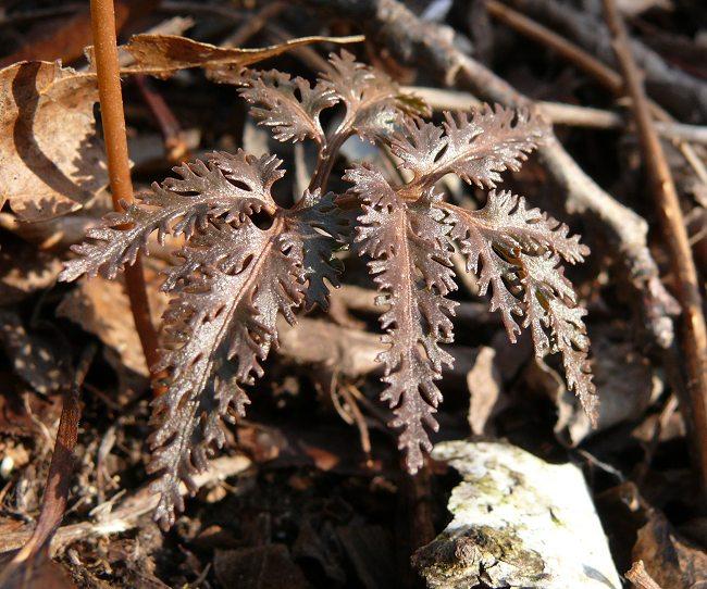 botrychium dissectum leaf