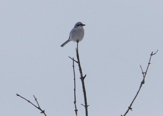 northern shrike 12-29-15