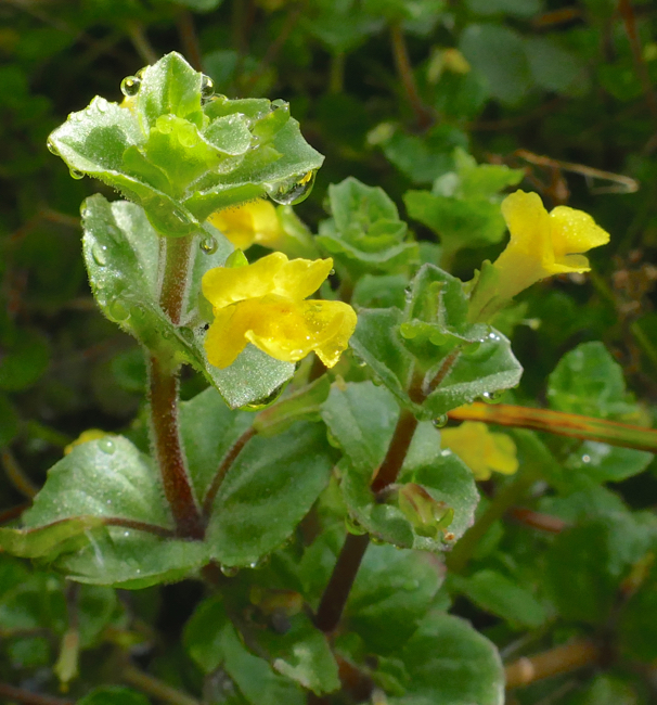 7-14-15 1 Mimulus glabratus