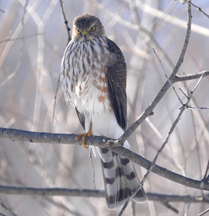 Sharp-shinned Hawk 2-9-16 4