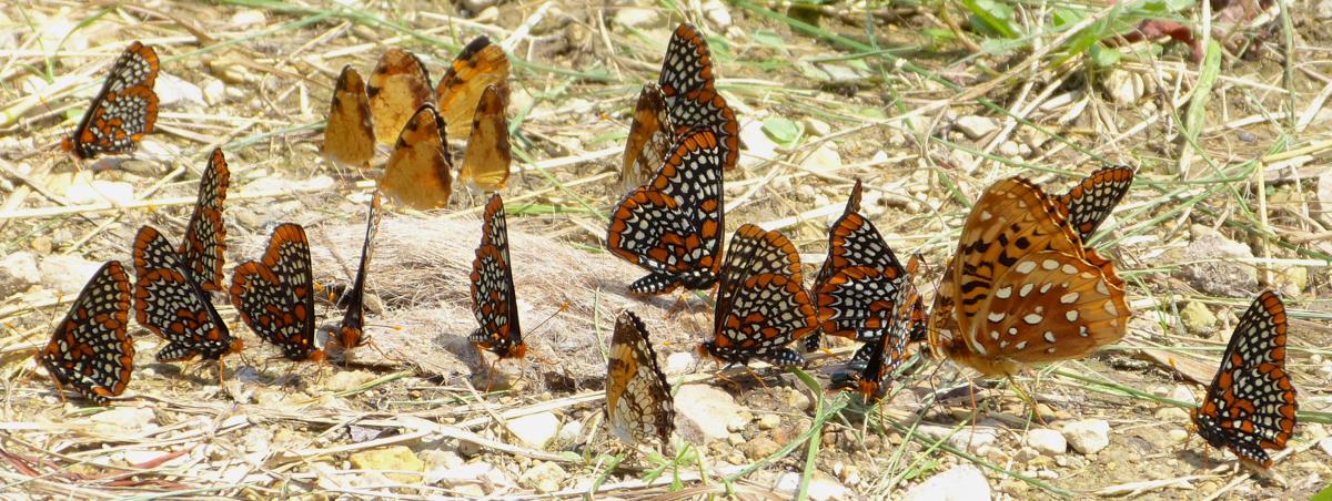 driveway butterflies 6-30-13 2