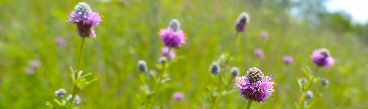 sumac prairie Plant list