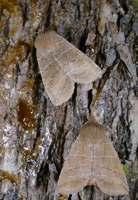 Eupsilia morrisoni 2-27-16 1