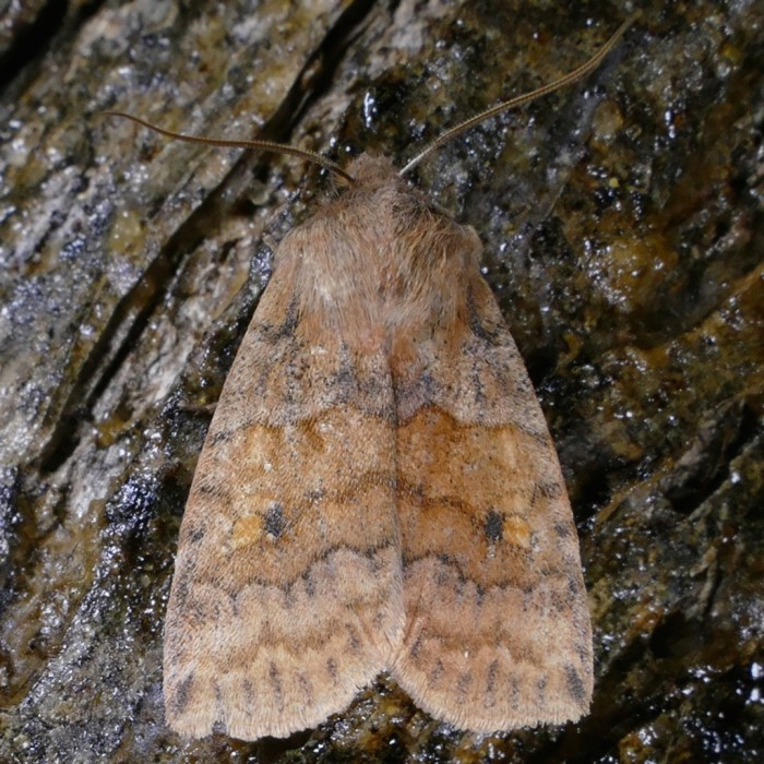 Eupsilia tristigmata 3-7-16 1