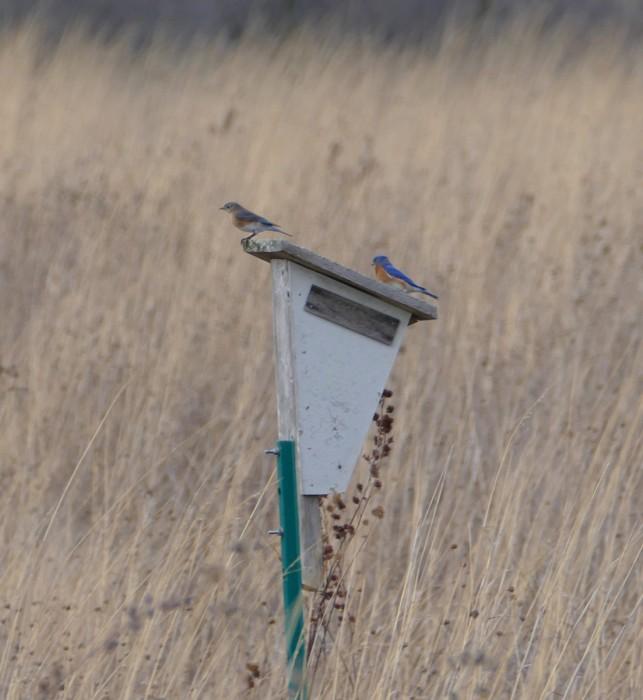 bluebirds 3-8-16 1
