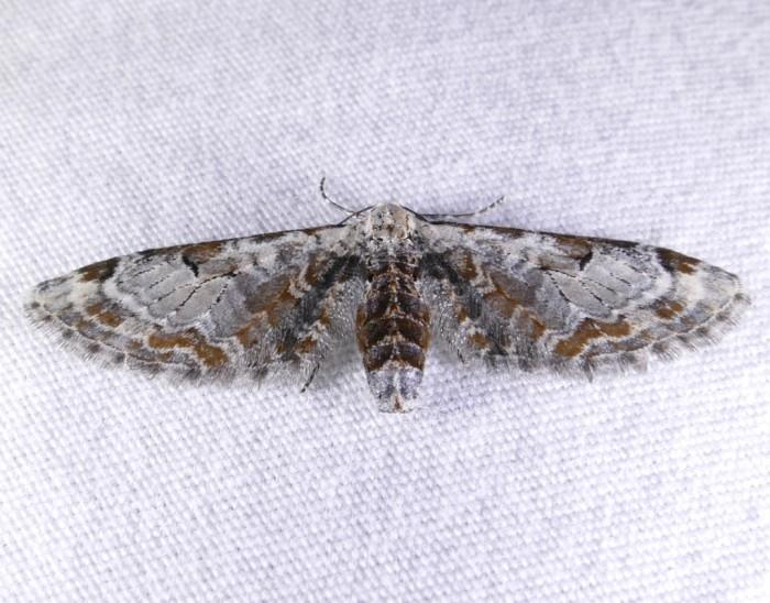 Eupithecia ravocostaliata 4-16-16 1