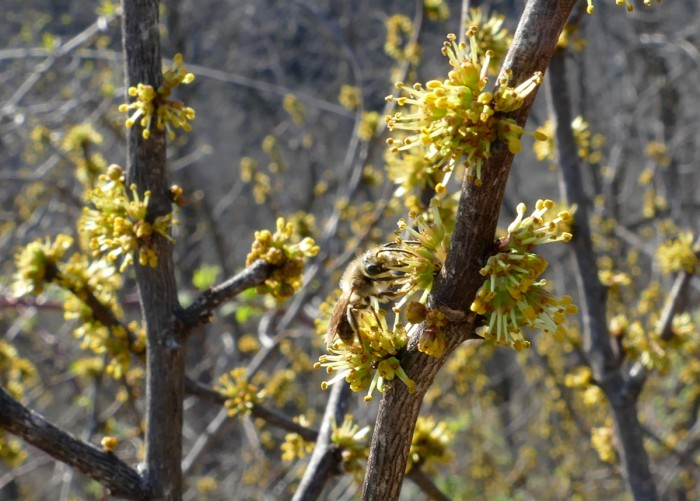 Prickly Ash with bee