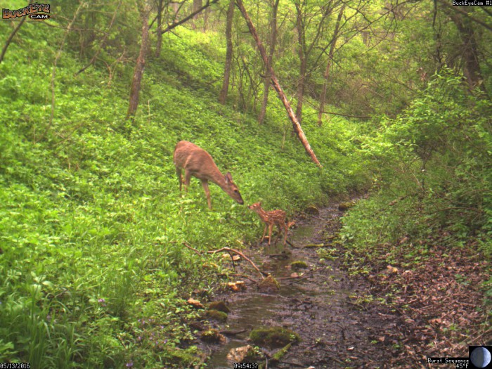 5-13-16 doe and fawn 2