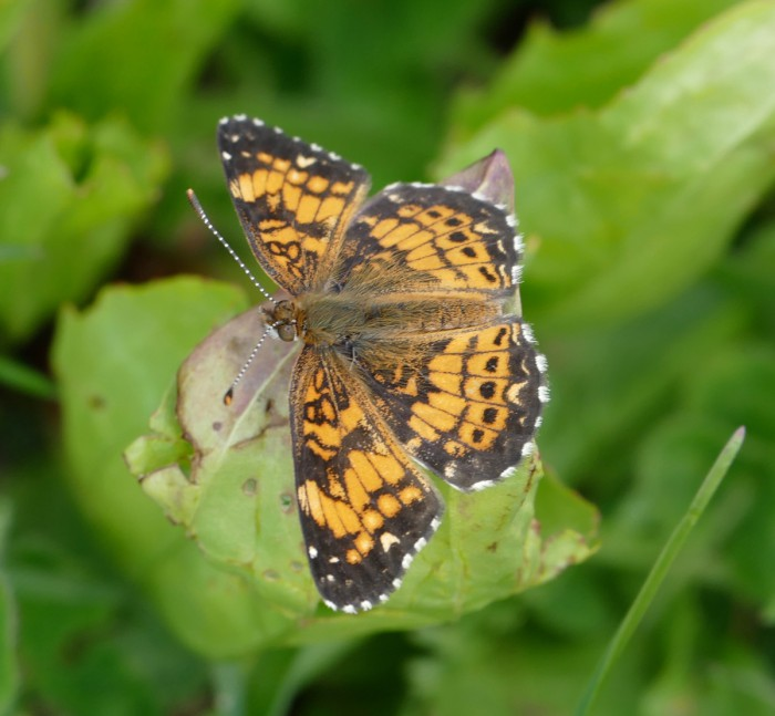 Gorgone Checkerspot 5-19-16