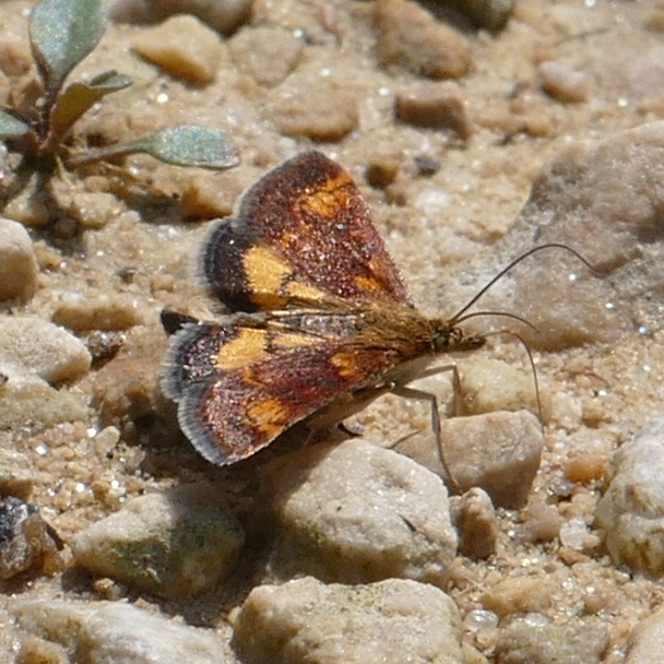 Pyrausta orphisalis 5-26-16 1