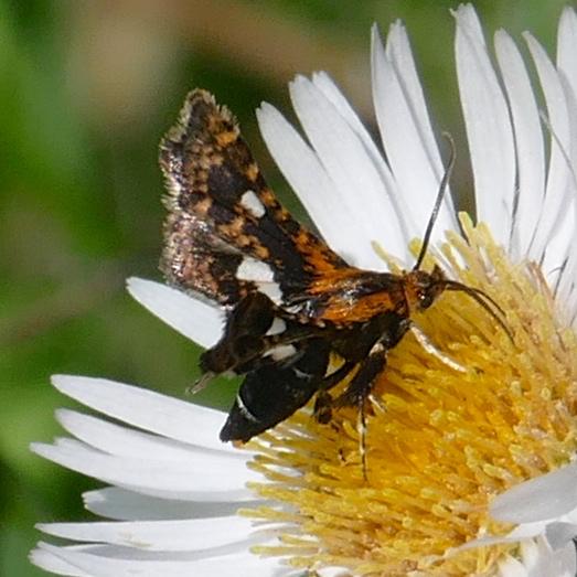 Thyris maculata 5-23-16 1