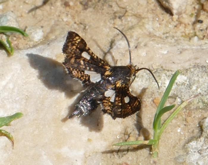 Thyris maculata 5-26-16 1