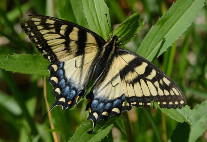 Tiger Swallowtail 5-17-16 1
