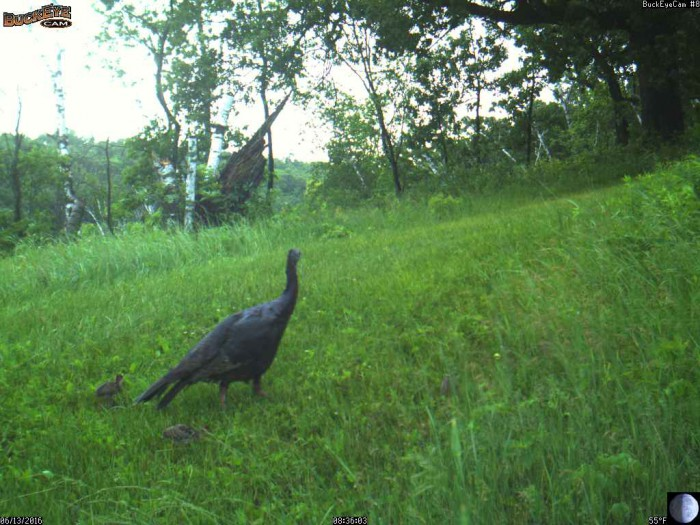 6-13-16 1 turkeys