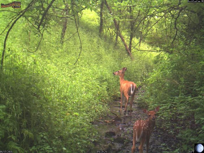 6-15-16 1 deer