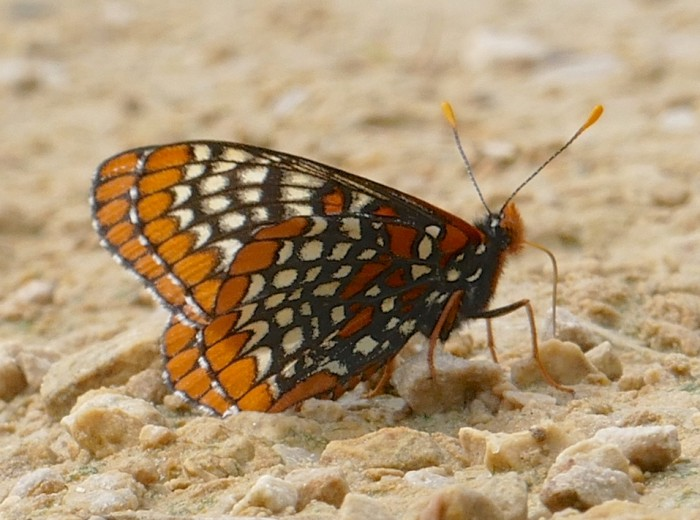 Baltimore Checkerspot 6-9-16 2